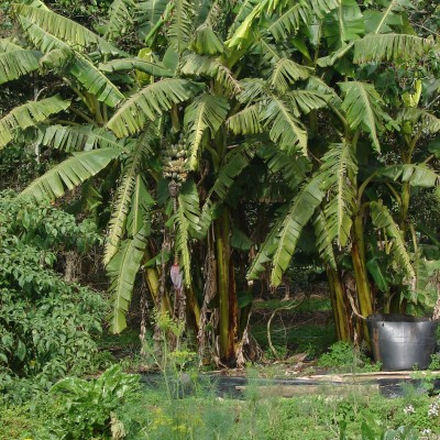 Part of Steve and Lily's organic garden. Note the banana palms producing fruit in the background.