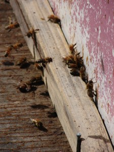 Bees coming into the hive
