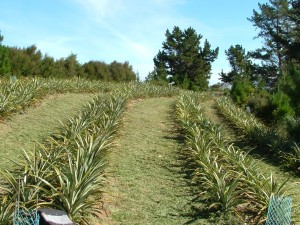 Young pineapple plantation
